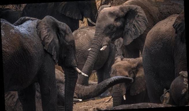 Old elephants hunted for ivory are vital leaders in elephant societies