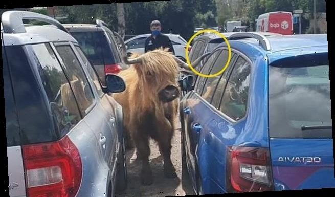 Highland cow reverses between £90,000 of new cars leaving no scratches