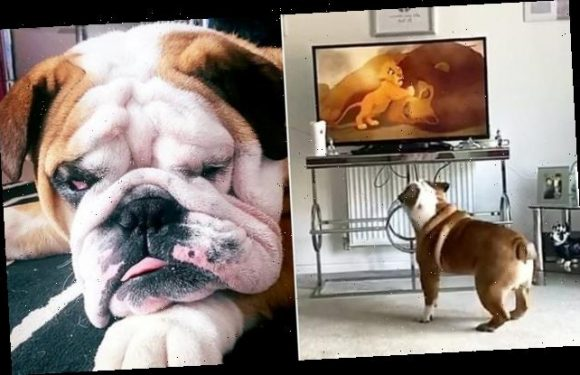 Bruce the bulldog loves watching his favourite movie The Lion King