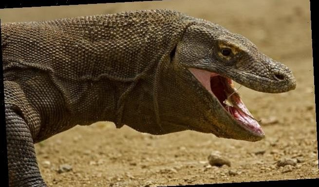 Komodo dragons could be driven to extinction by global warming