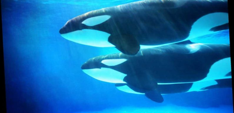 Scientists left baffled by reports of orca 'attacks,' call reports 'highly unusual'