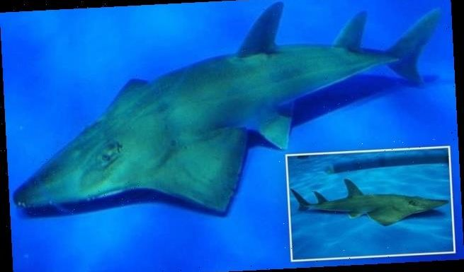After 23 years aquarium realizes 'ghost' rays are new species