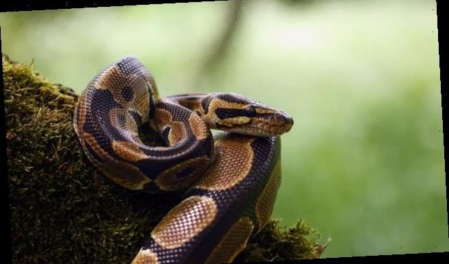 Snakes see in the dark by turning heat into a thermal image