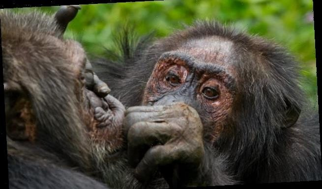 Chimps 'care more about who their friends are with age' like people