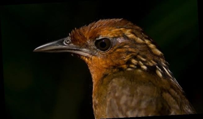 Musician Wren is fading from the Amazon rainforest, study says