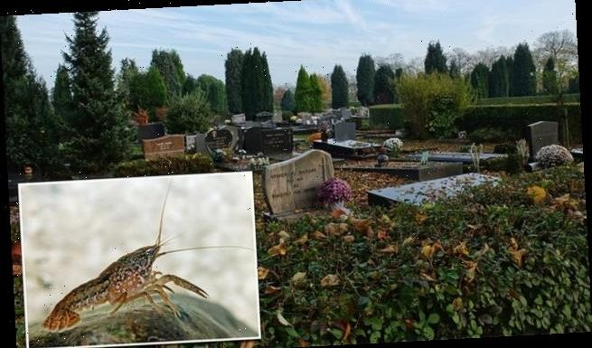 Self-cloning mutant crayfish are invading a Belgian cemetery