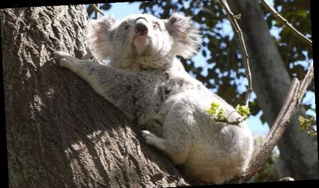 Australia's iconic koala bear is on the brink of extinction