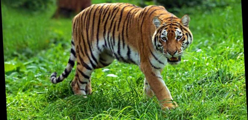 Hunt for man-eating tiger terrorising India after it kills EIGHTH victim leaving man's body parts strewn across forest