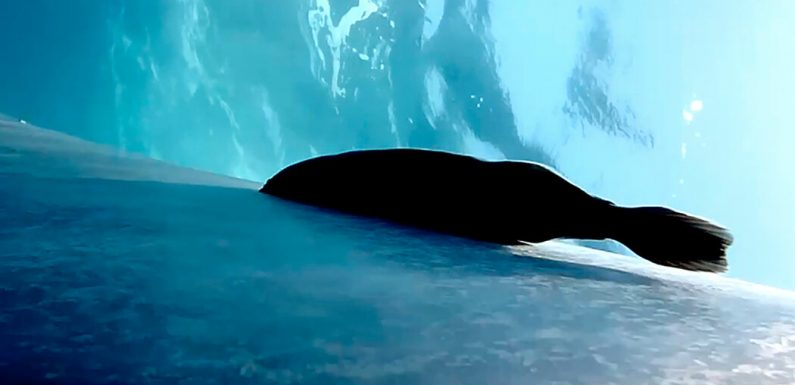 How Suckerfish Surf Across Blue Whales Without Falling Off