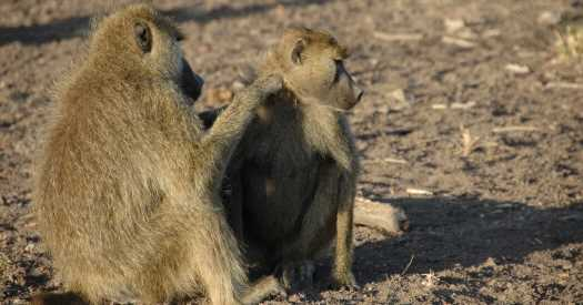 Male Baboons Find Good Reasons to Be in the Friend Zone
