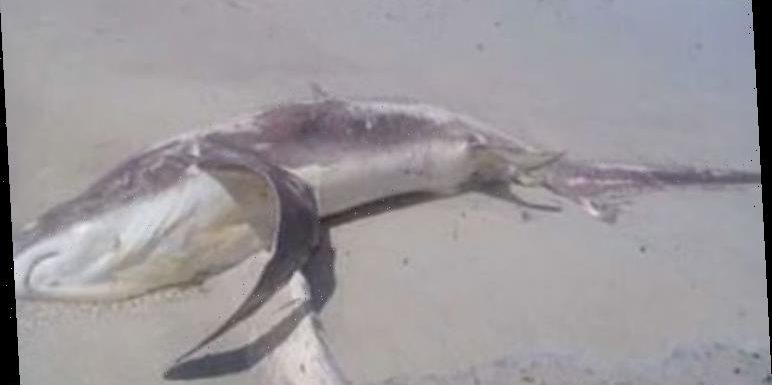 Shark mystery as washed up dead animal leads to discovery of DEADLY attack