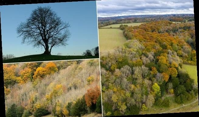 Scale of ash dieback in British woodlands revealed in drone footage