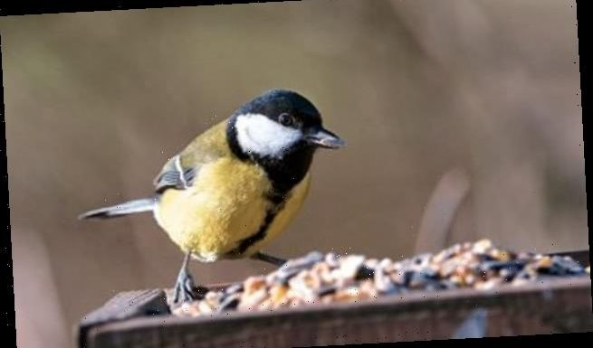 Great tits face extinction threat due to climate change impacting food