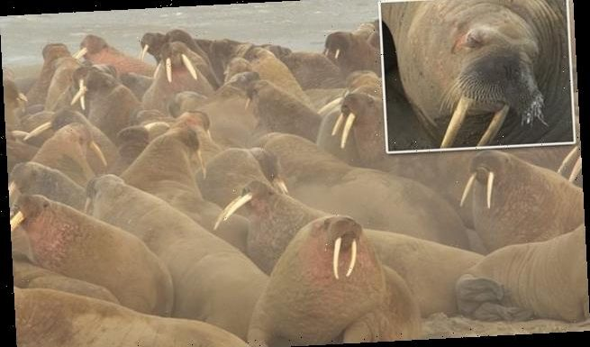 Massive pod of 3,000 walruses is spotted on Russian peninsula