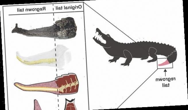 Alligators can REGROW their tails after they have been bitten off