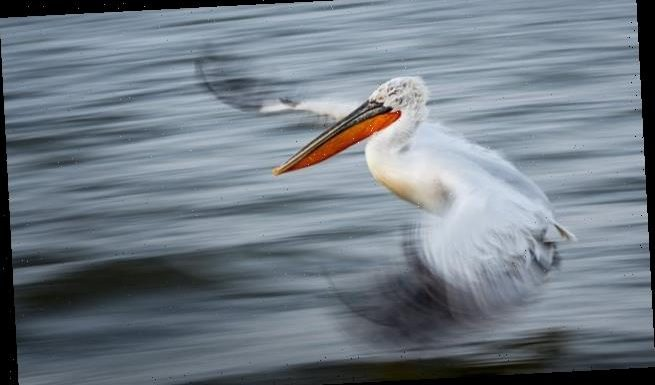Majestic Dalmatian Pelican wins British Ecological Society prize