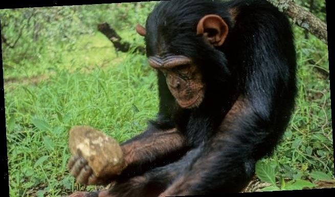Last fertile female in tool-using chimp tribe gives birth to a girl