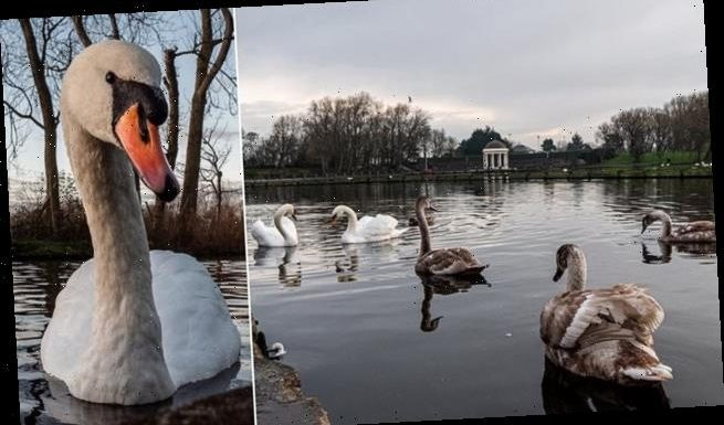 Swan deaths across Britain are linked to wave of bird flu