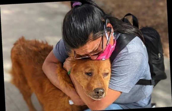 Woman falls to knees & sobs as she's reunited with lost dog Honey SEVEN years after pooch suddenly disappeared