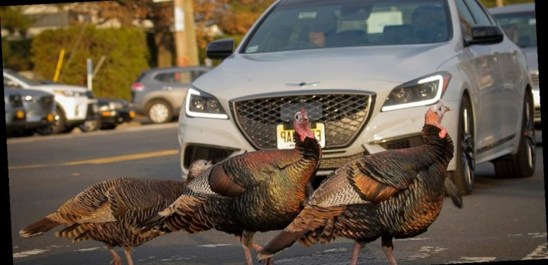 'Gangster' turkeys who bully kids and two other times Christmas dinner bit back