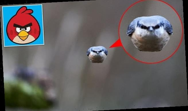 Photographer snaps furious nuthatch doing impression of Angry Birds
