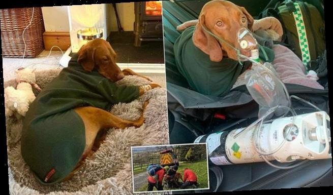 Walter the Hungarian Vizsla survives 150ft fall off cliff