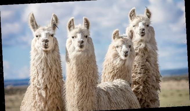 Inhalers filled with powerful LLAMA antibodies could treat COVID-19