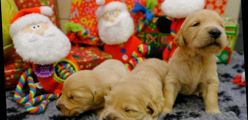 'Busiest Christmas period ever' ahead for guide dogs' breeding centre