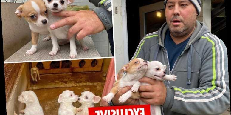 Shocking lockdown puppy-smuggling trade exposed by The Sun as dogs are torn from their mothers to be shipped to UK