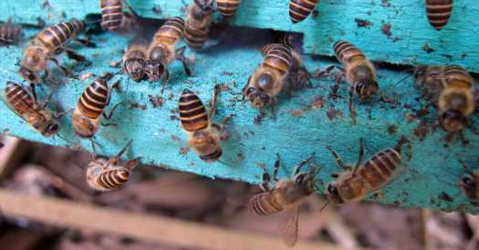 When Murder Hornets Menace Their Hive, Bees Decorate It With Animal Feces