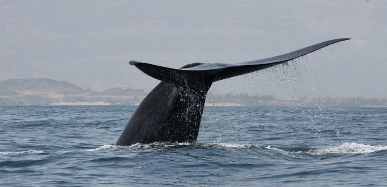 A New Population of Blue Whales Was Discovered Hiding in the Indian Ocean