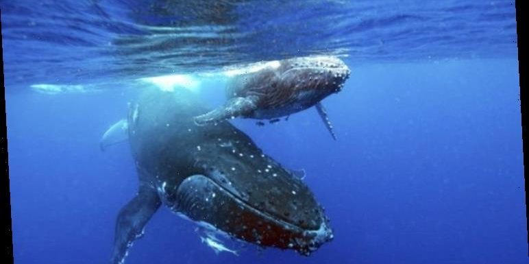 Whale recovery: Evidence of polar whales' return with 'rediscovery of ocean's larder'