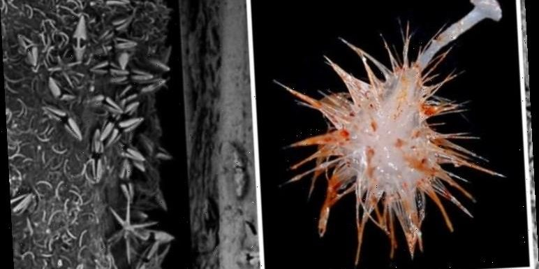 Deep sea discovery: 'First carnivorous species' found 10,000ft underwater in Australia