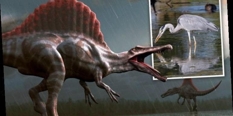 Fearsome Spinosaurus lived like a heron 'Bizarre even by dinosaur standards'