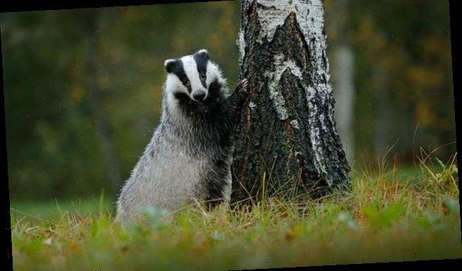 End of the badger cull as Government announces no new licenses by 2022