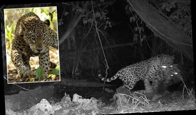 Jaguar killing ocelot at watering hole could be sign of climate change