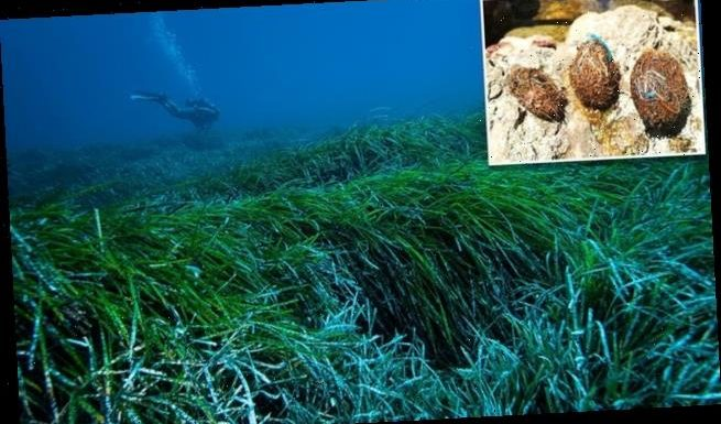 Seagrass Neptune balls sieve MILLIONS of plastic particles from water