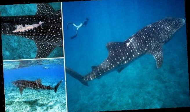 Whale sharks lingering at tourist hotspots at risk of boat strikes