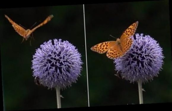 Butterflies form a 'pocket' with their wings to take off faster