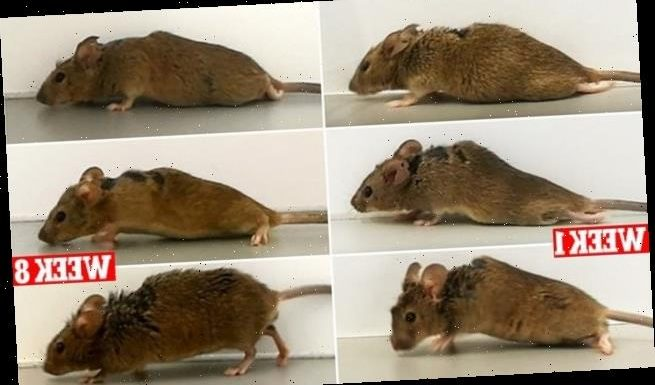 Paralyzed mice walk again after breakthrough gene therapy