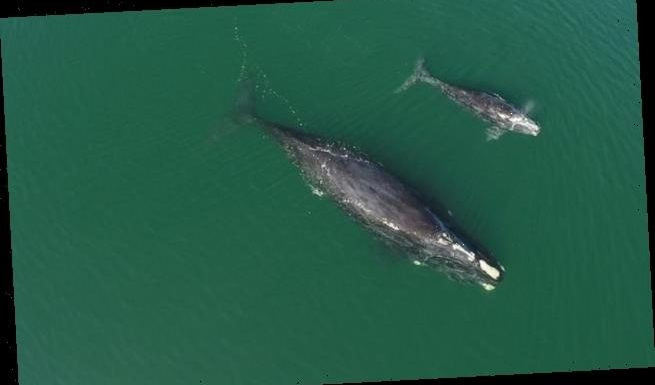 FOURTEEN baby right whales are sighted off the Florida coast