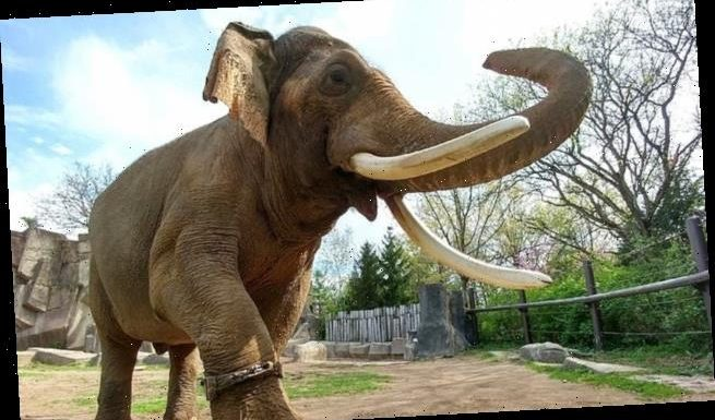 Asian elephants in captivity 'are no more likely to be overweight'