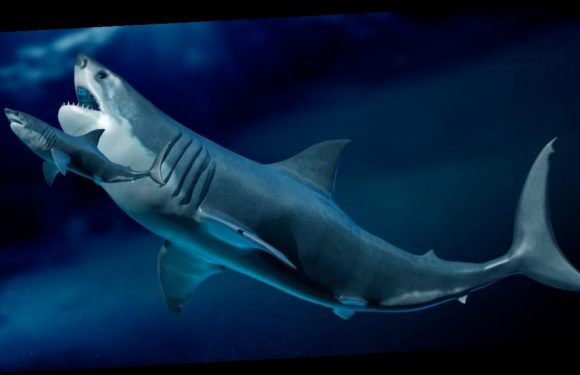 Megalodon babies ate their shark siblings in the womb, leading them to be the size of adult humans at birth
