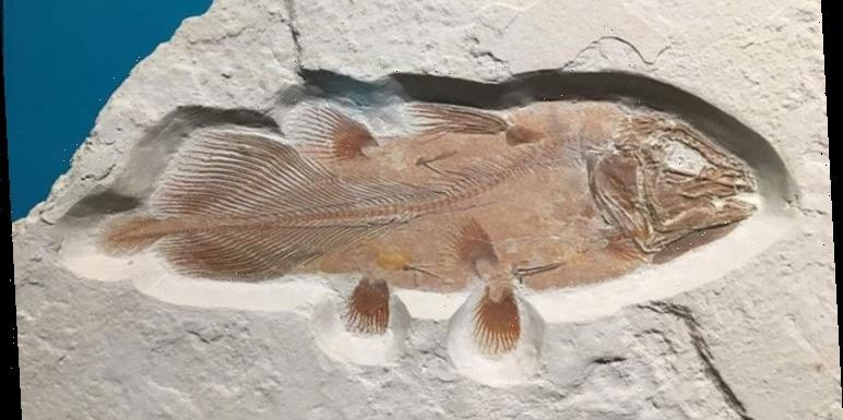 Ancient fish as big as the great white shark accidentally revealed by UK palaeontologists