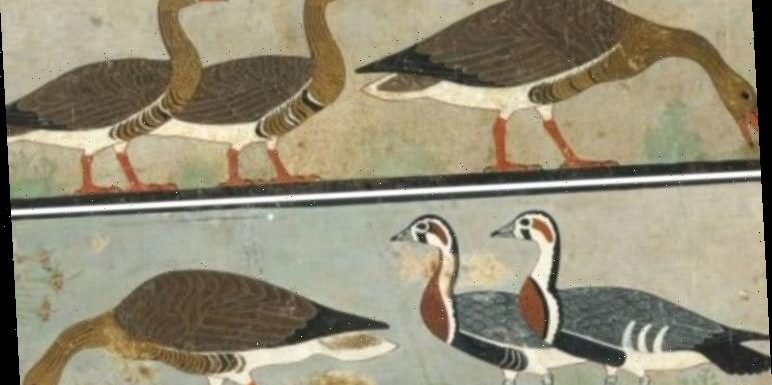 Archaeology news: Extinct species of goose discovered in Ancient Egyptian pyramid