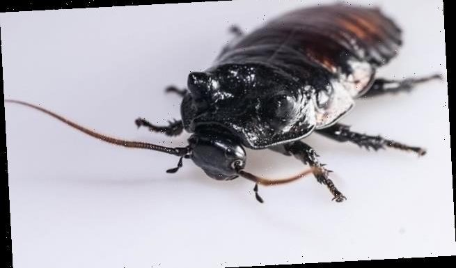 'Super-athlete' cockroaches have larger respiratory systems