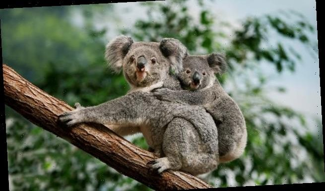 Koala bears are infected by a virus that causes cancer