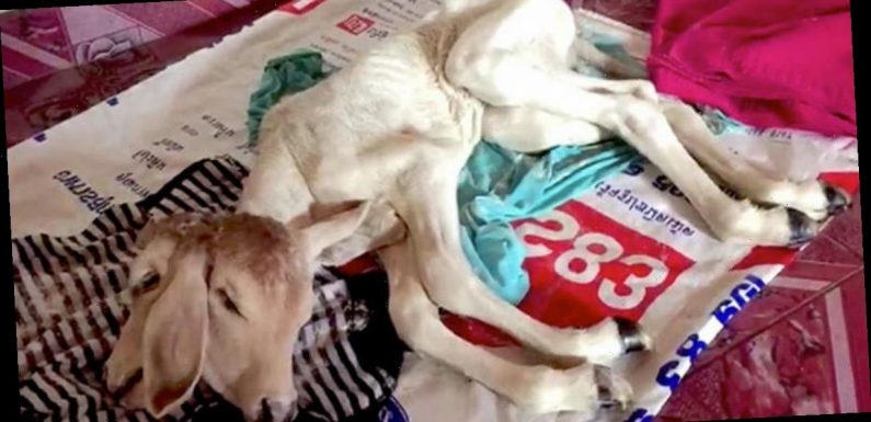'Lucky' calf with two heads worshipped by villagers after owner wins lottery