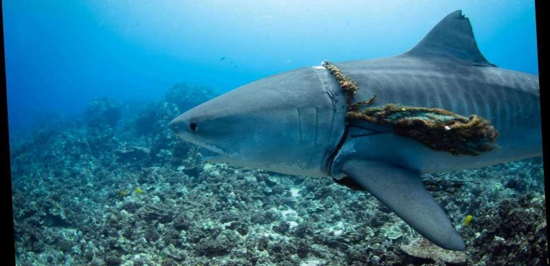 Tiger shark spotted with a 'NOOSE' around its neck in shock pics snapped in trash-filled waters off Hawaii