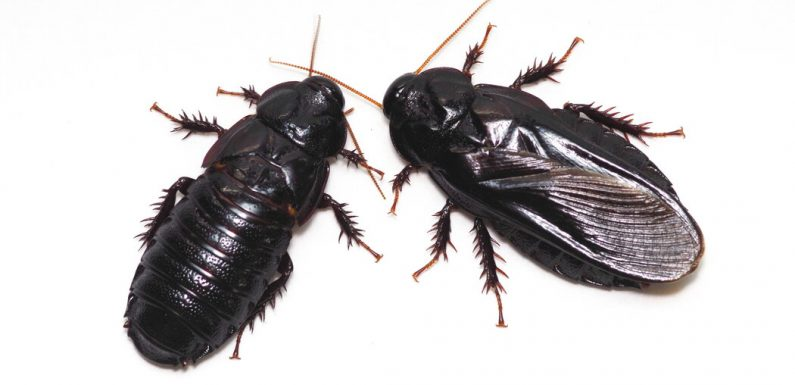 Cannibalism May Be Key for These Cockroach Couples